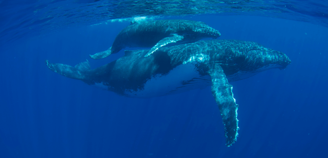 https://tahititourisme.com.br/wp-content/uploads/2018/03/mooreaactivitiescenterwhaleswatching_1140x550-min.png
