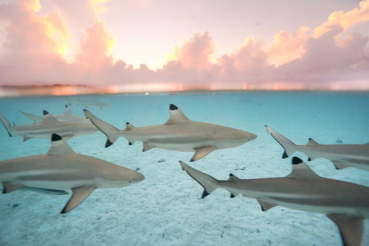 https://tahititourisme.com.br/wp-content/uploads/2020/06/blacktip-reef-shark-sunset.jpg
