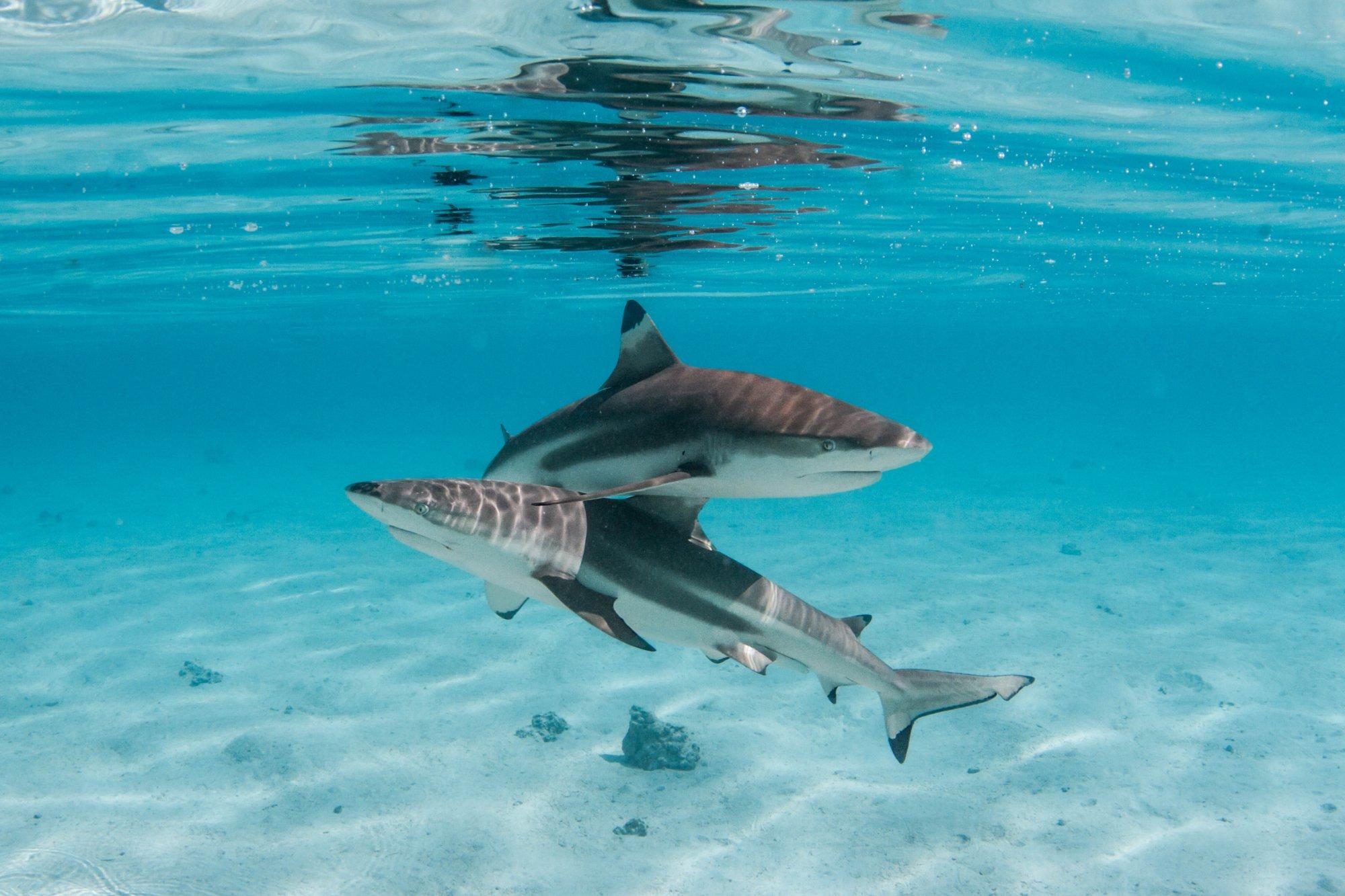 https://tahititourisme.com.br/wp-content/uploads/2020/06/deux-magnifiques-requins.jpg